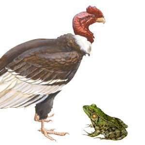 The Frog and the Condor Story